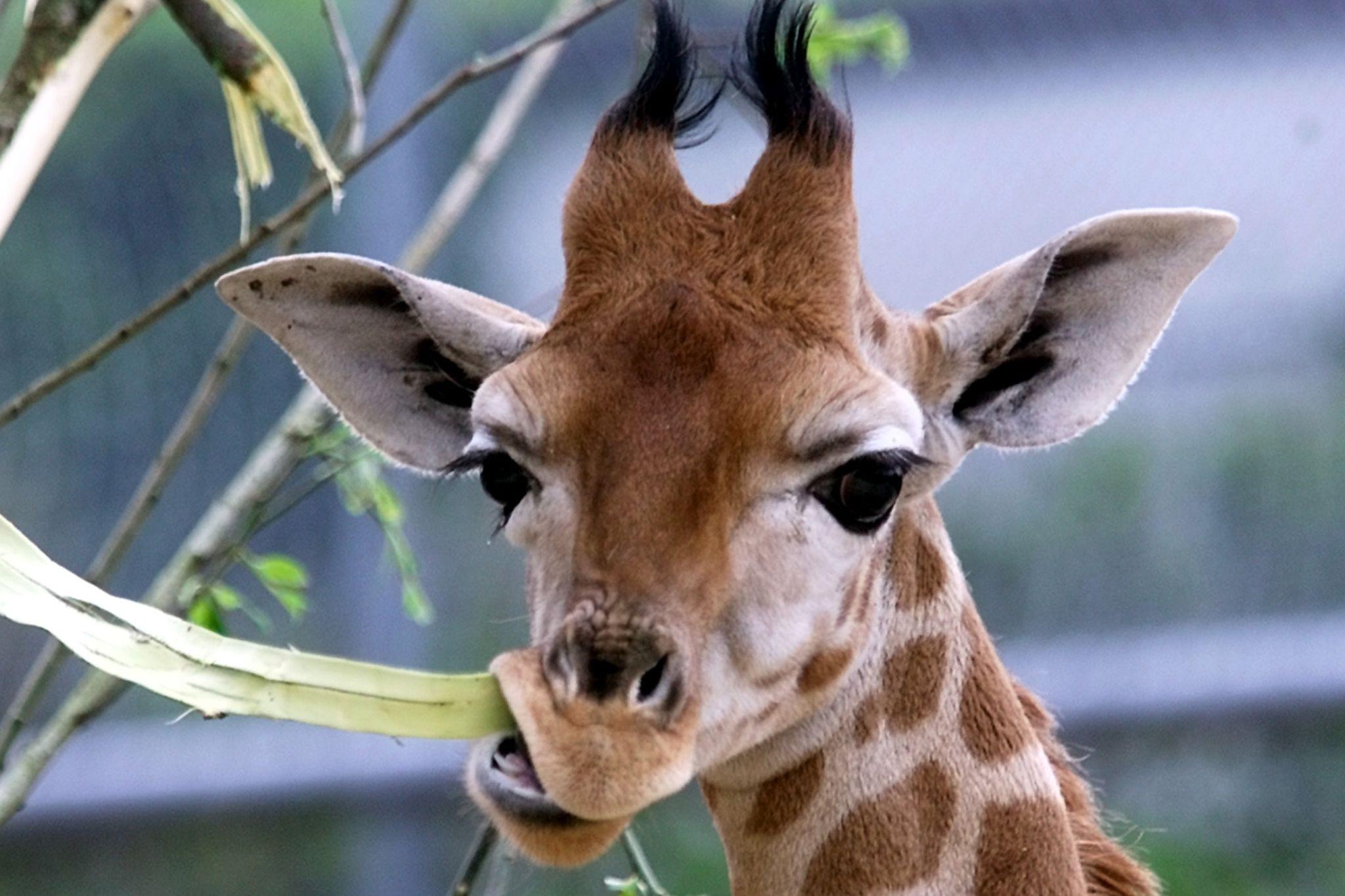 """Badoca Park mostra nascimento de """"filhote"""" de girafa"""