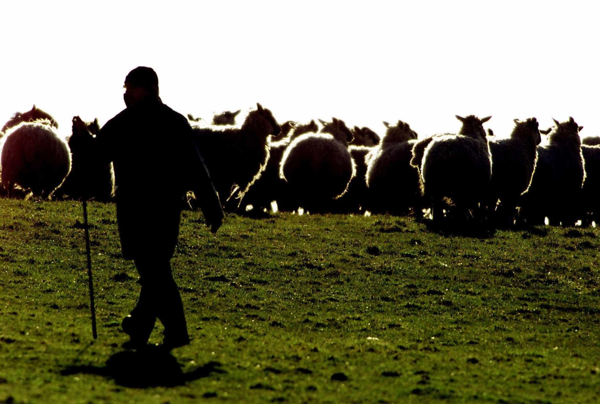 Câmara de Gouveia apoia ovinos da raça Serra da Estrela