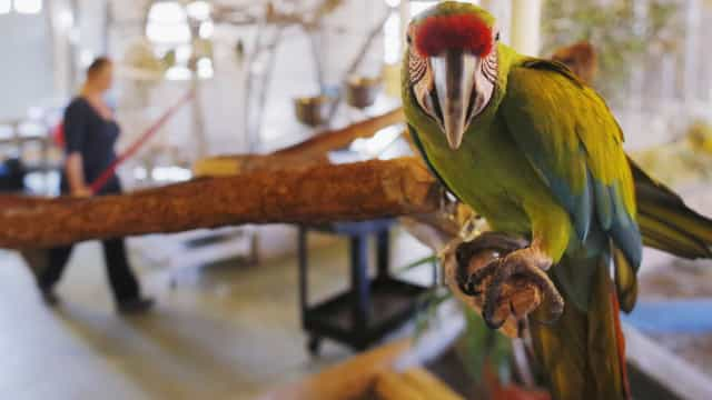 Cúmplice invulgar. Papagaio alerta traficantes para a chegada da polícia