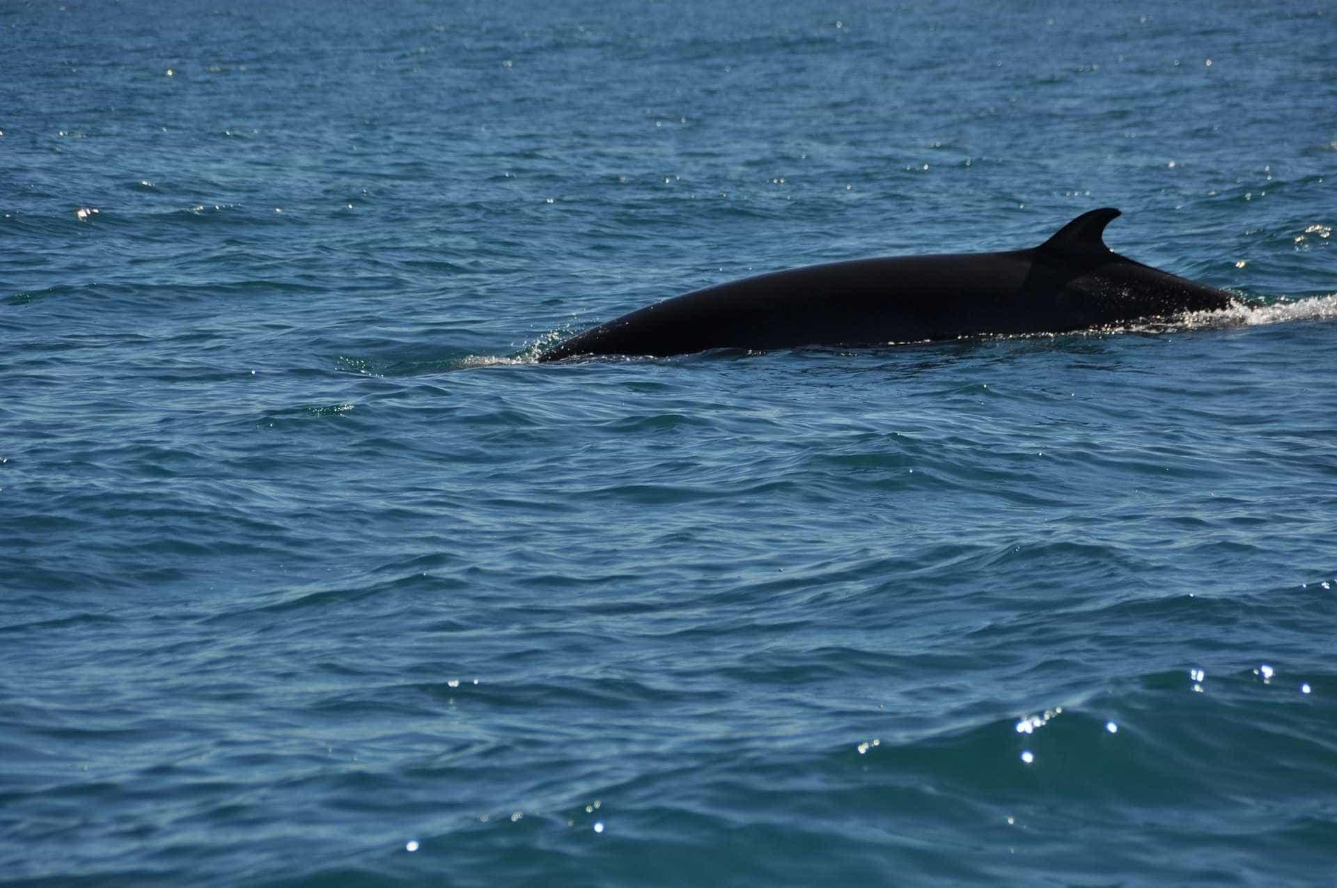 Baleia anã e tubarão-frade avistados na costa algarvia