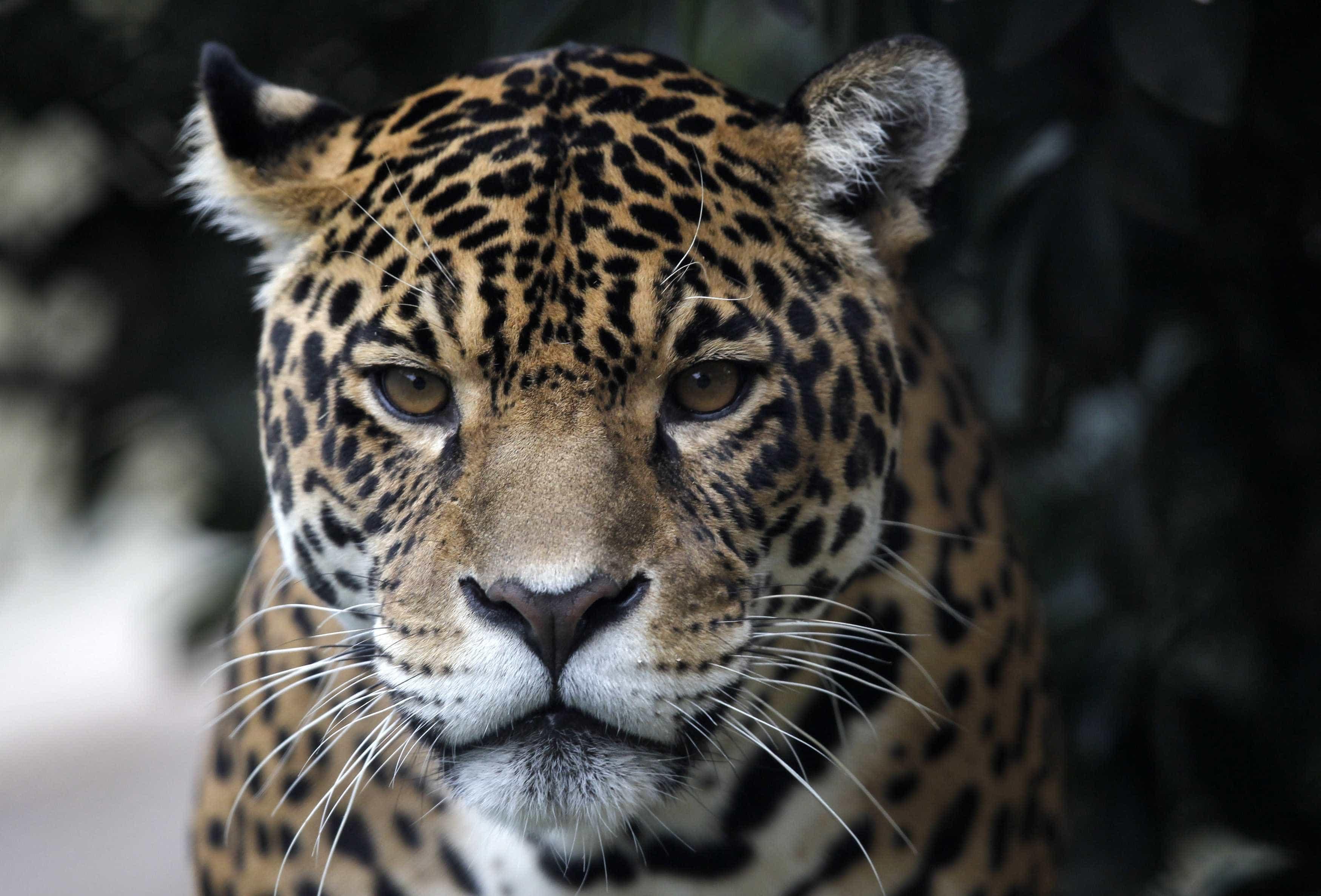 Mulher atacada por jaguar ao tentar tirar selfie em zoo no Arizona
