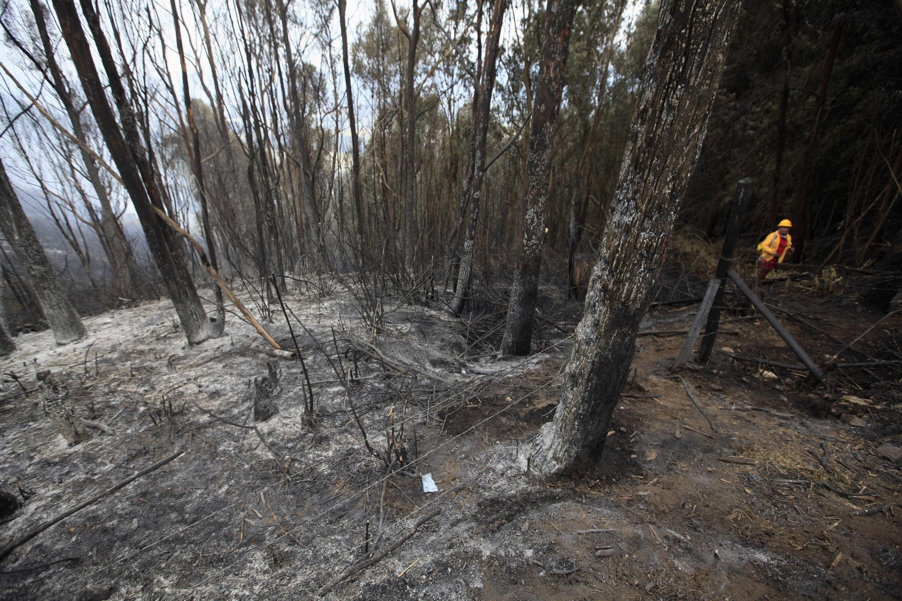 Estudo apresenta novas evidências do potencial invasor do eucalipto
