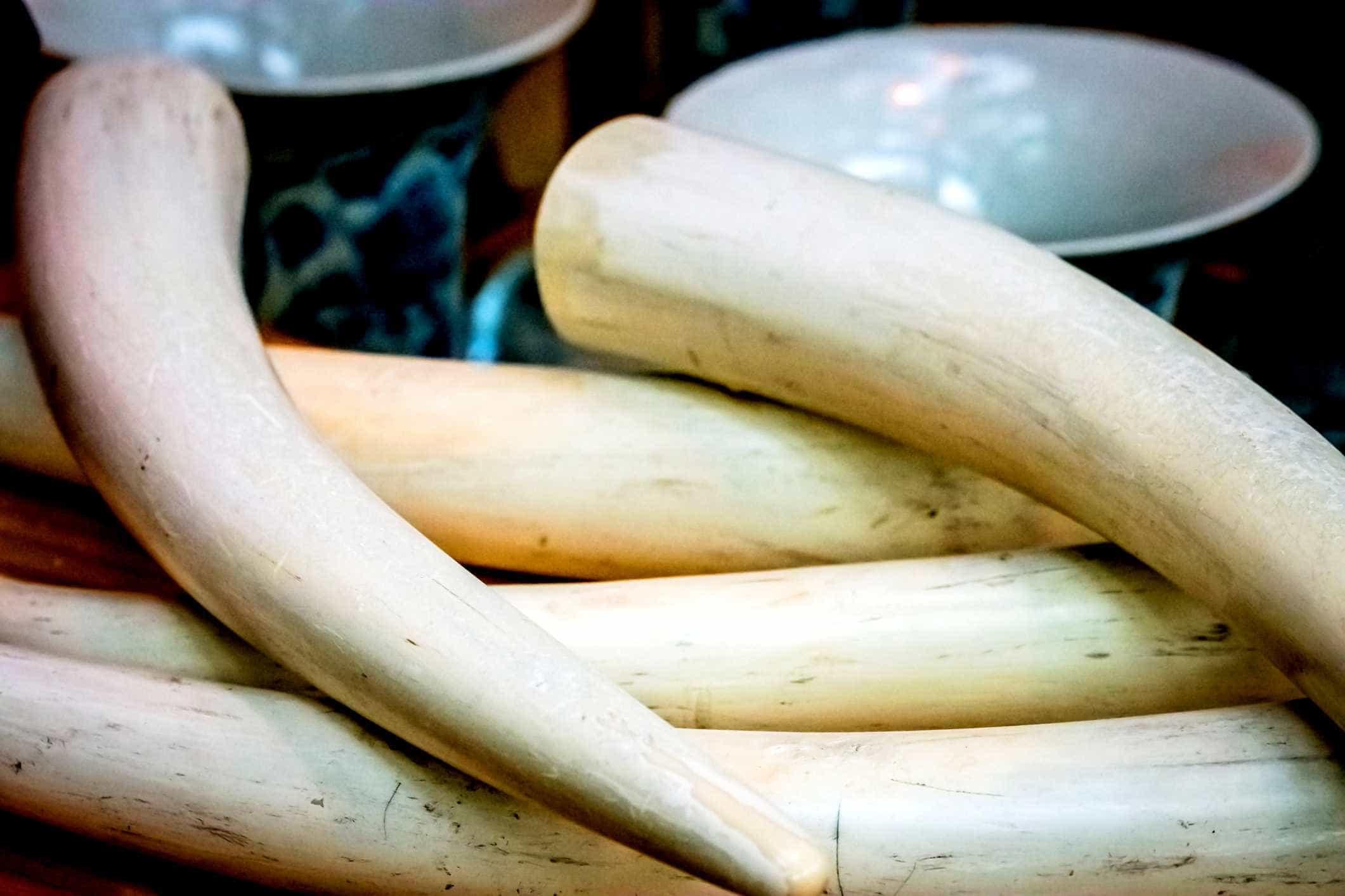 Alfândegas chinesas intercetam 7,48 toneladas de presas de marfim