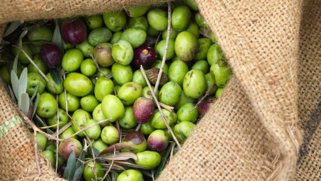 Quercus quer proibir apanha noturna de azeitona. Morrem milhares de aves