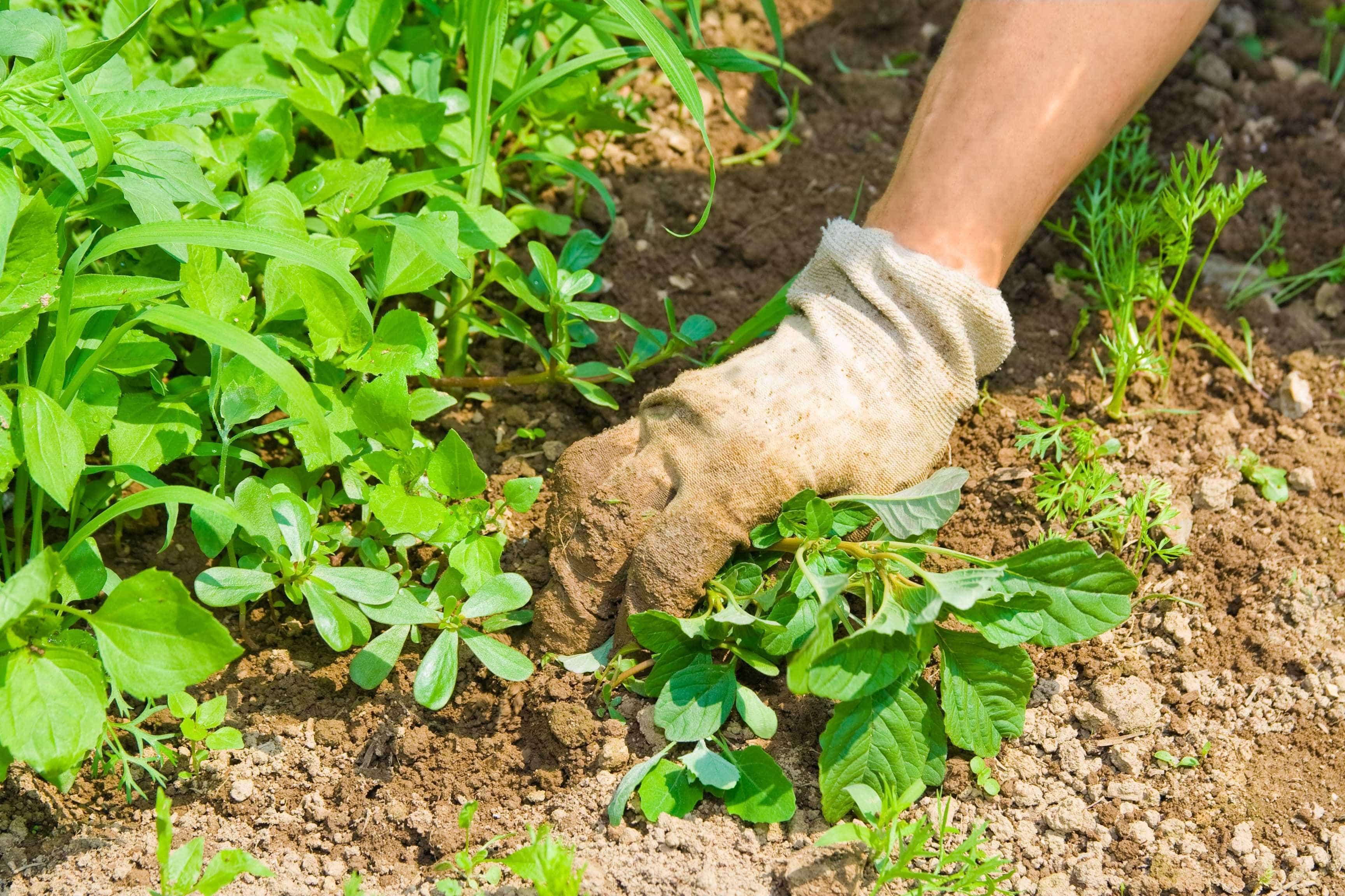 Bloco denuncia aplicação ilegal de glifosato em jardim de Aveiro