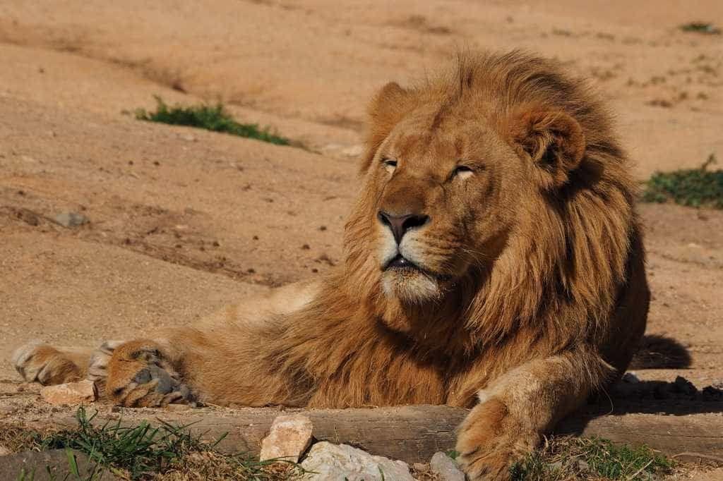 Leão foge de cerca e mata trabalhador de reserva natural