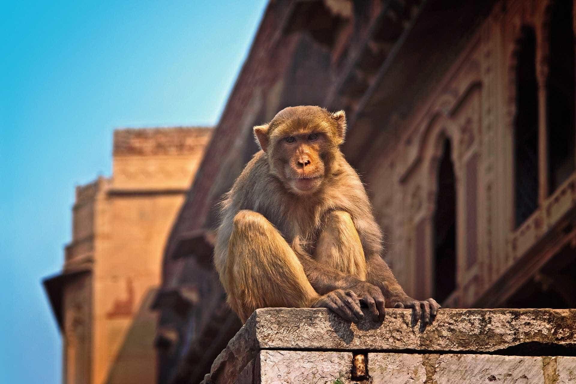 Macaco bebé tenta acordar mãe depois de esta ter morrido atropelada