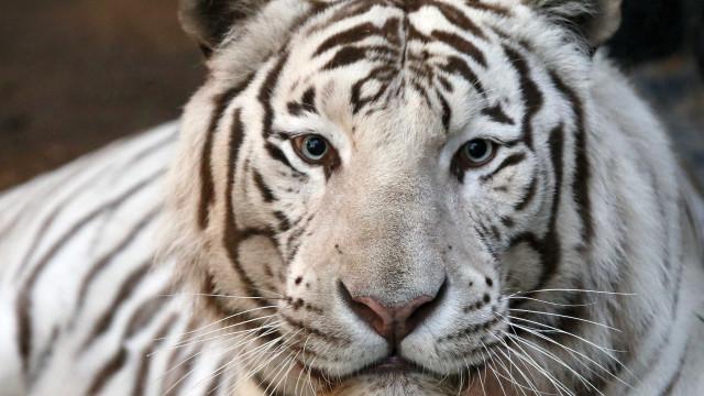 Tigre-branco ataca e mata tratador dentro da jaula no Japão