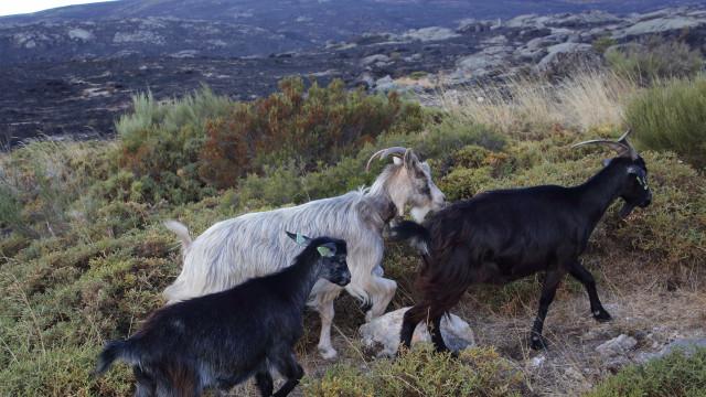 Arganil usa cabras para limpeza florestal com apoio da Agrária de Coimbra