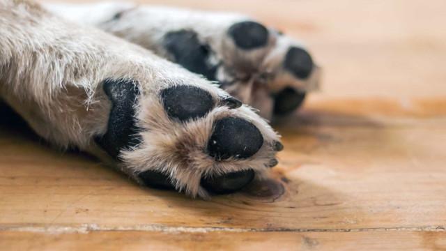 'Zero the Hero': O cão que morreu ao defender a sua família de atirador