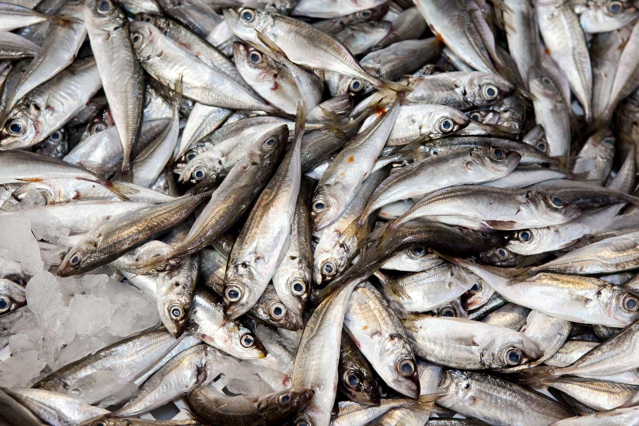 Governo impõe regime de captura de espécies acessórias na pesca do cerco