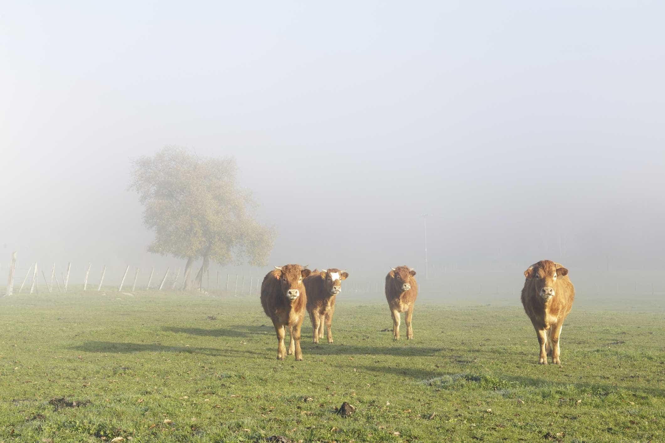Agricultores contra a redução de 25% a 50% na produção de bovinos