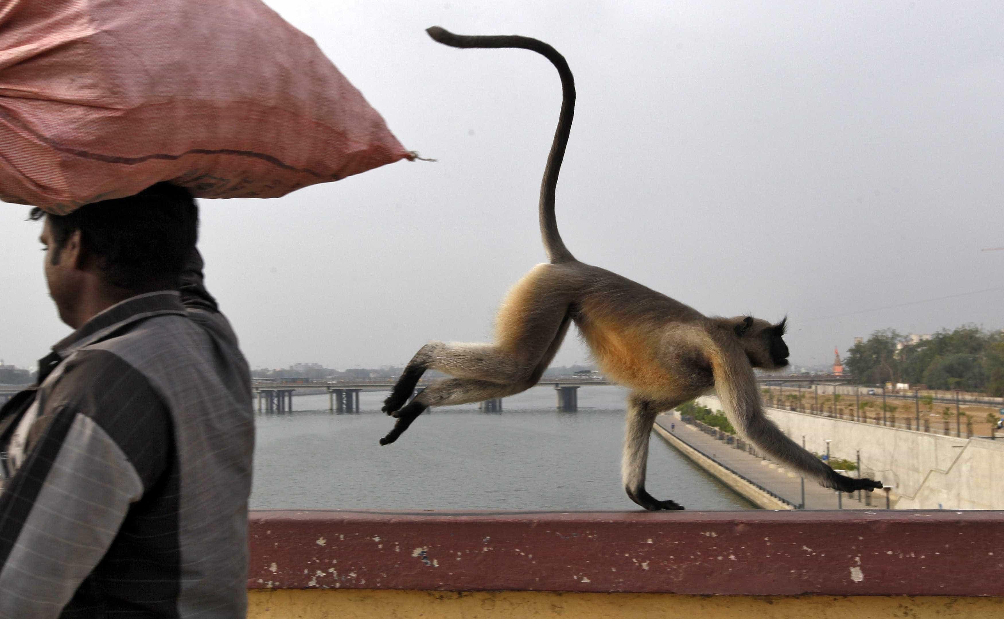 Mulher morre atacada por macaco na Índia