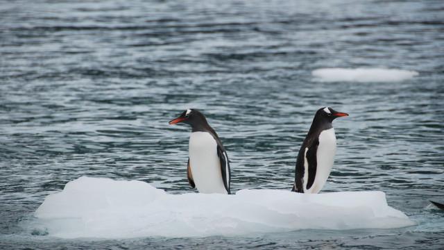 Milhares de pinguins bebés morreram afogados na Antártida