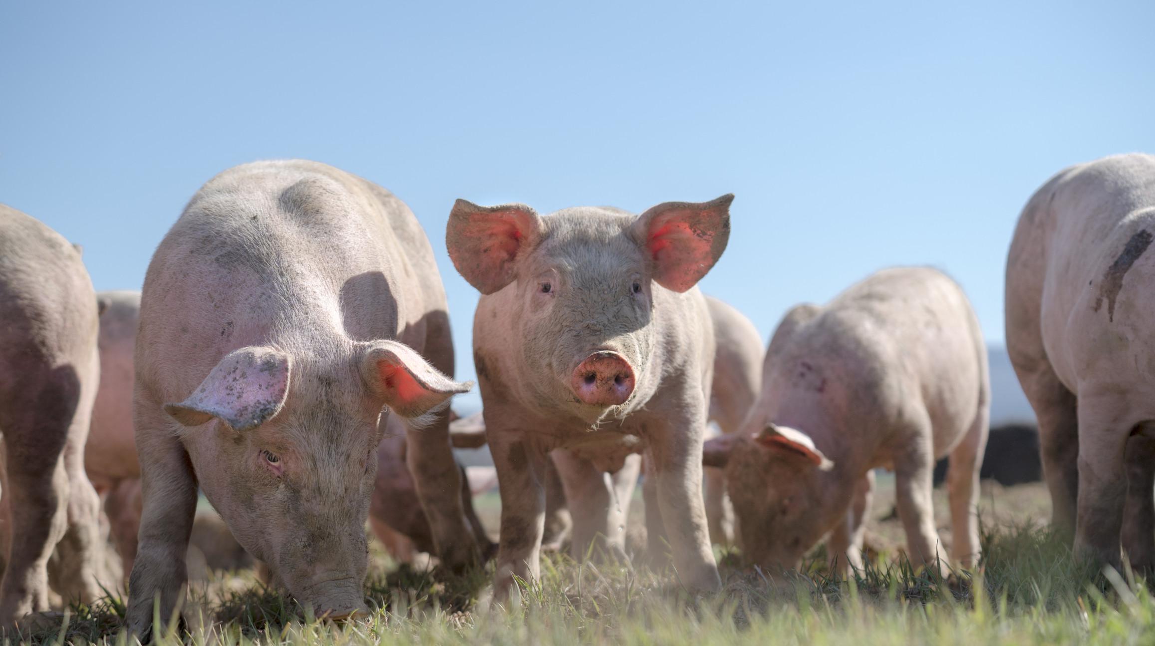 Porcos podem complicar negociações comerciais entre EUA e China