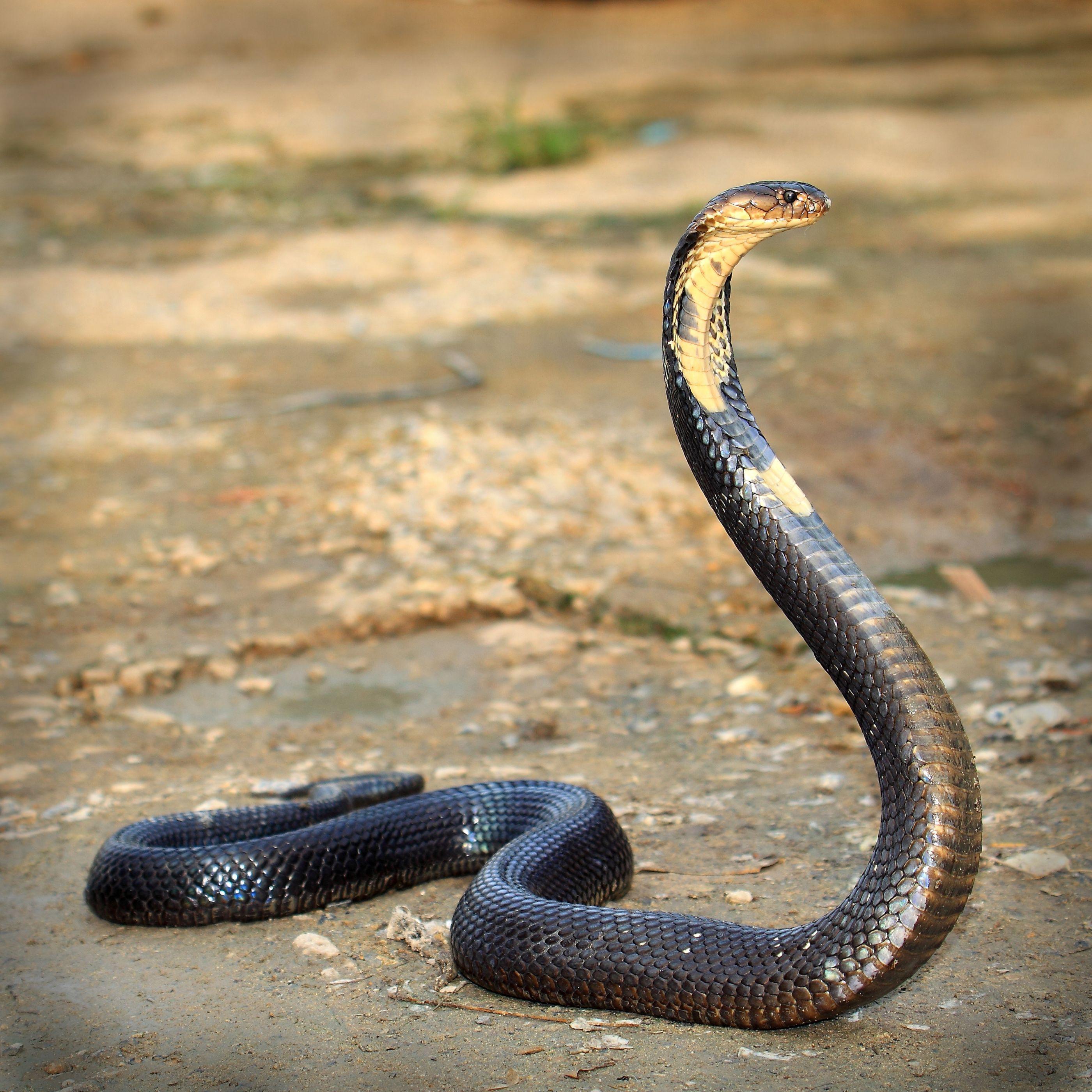 Cobra mordeu homem e homem mordeu mulher para que morressem juntos