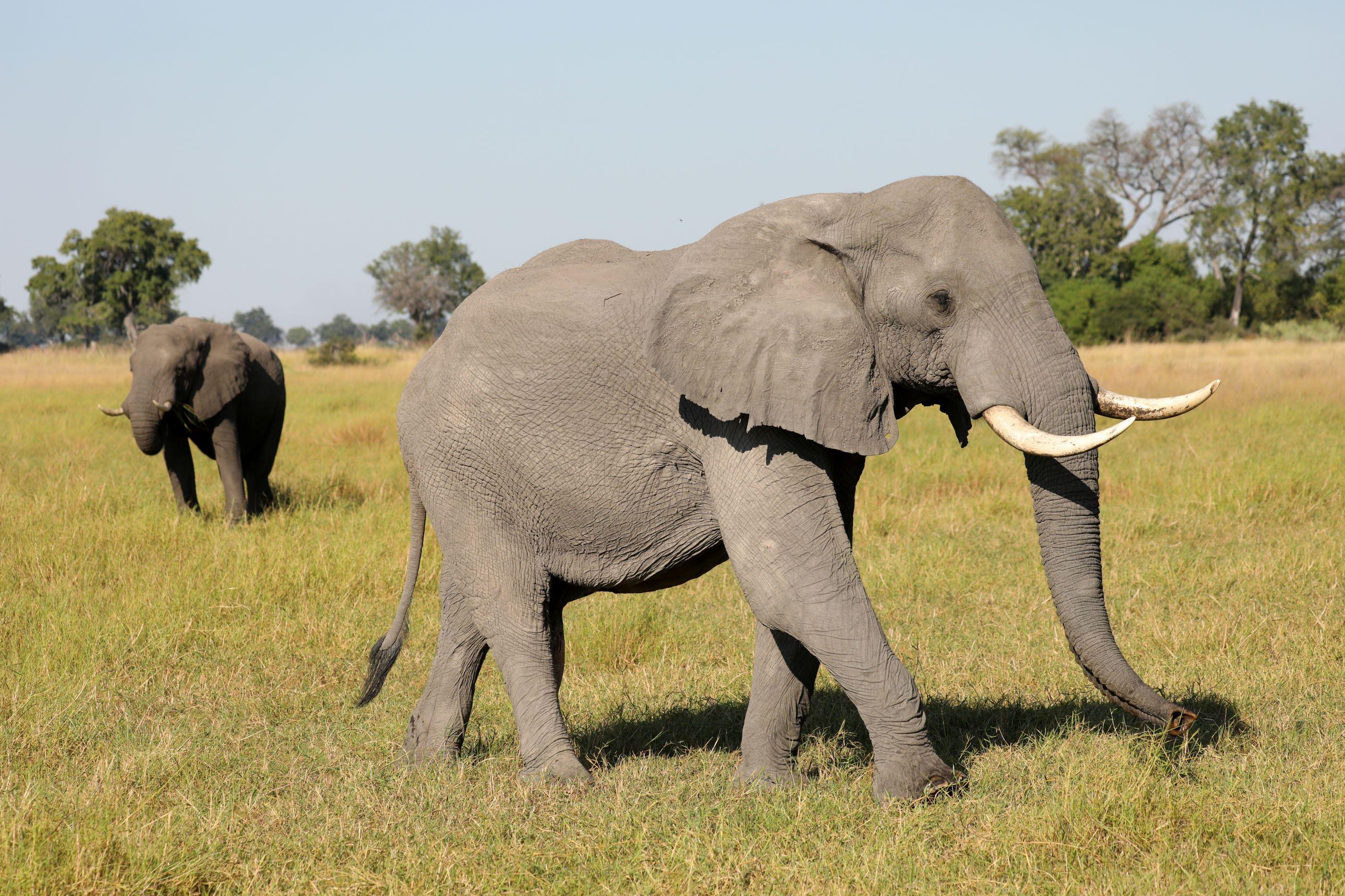 Caçador furtivo foi morto por elefantes e devorado por leões
