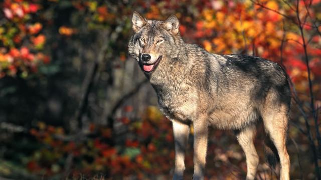 Lobos estão de regresso à Holanda 140 anos depois