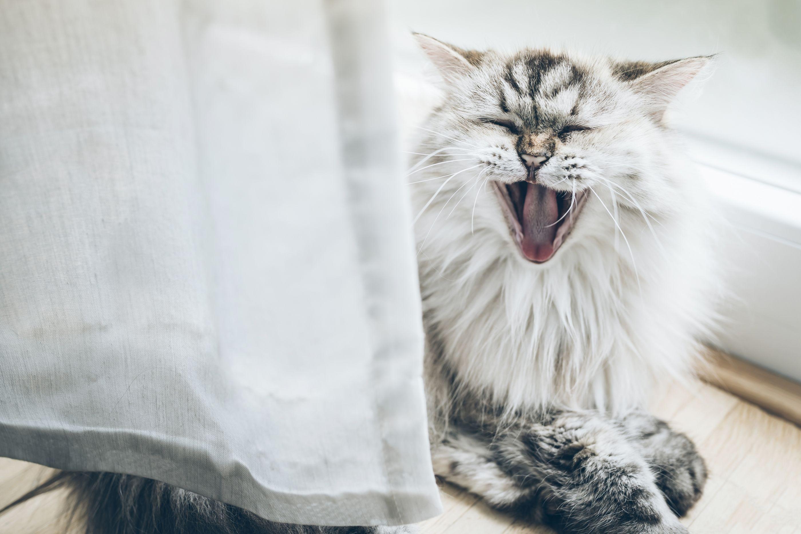 Porque é que os gatos mal dormem à noite e nos acordam de manhã cedo?