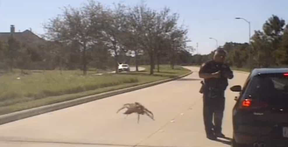 Aranha gigante vai atacar polícia ou é tudo uma questão de perspetiva?