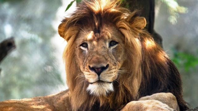 Leoa mata o pai das suas três crias em zoo dos EUA