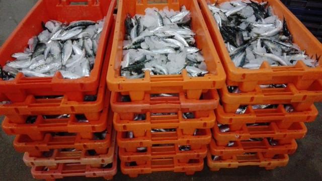 Mais de 200 quilos de sardinha apreendida em Murtosa