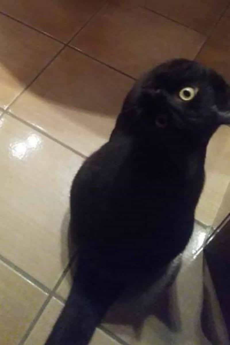 Parece um corvo mas é um gato. Sim, até o Google ficou baralhado