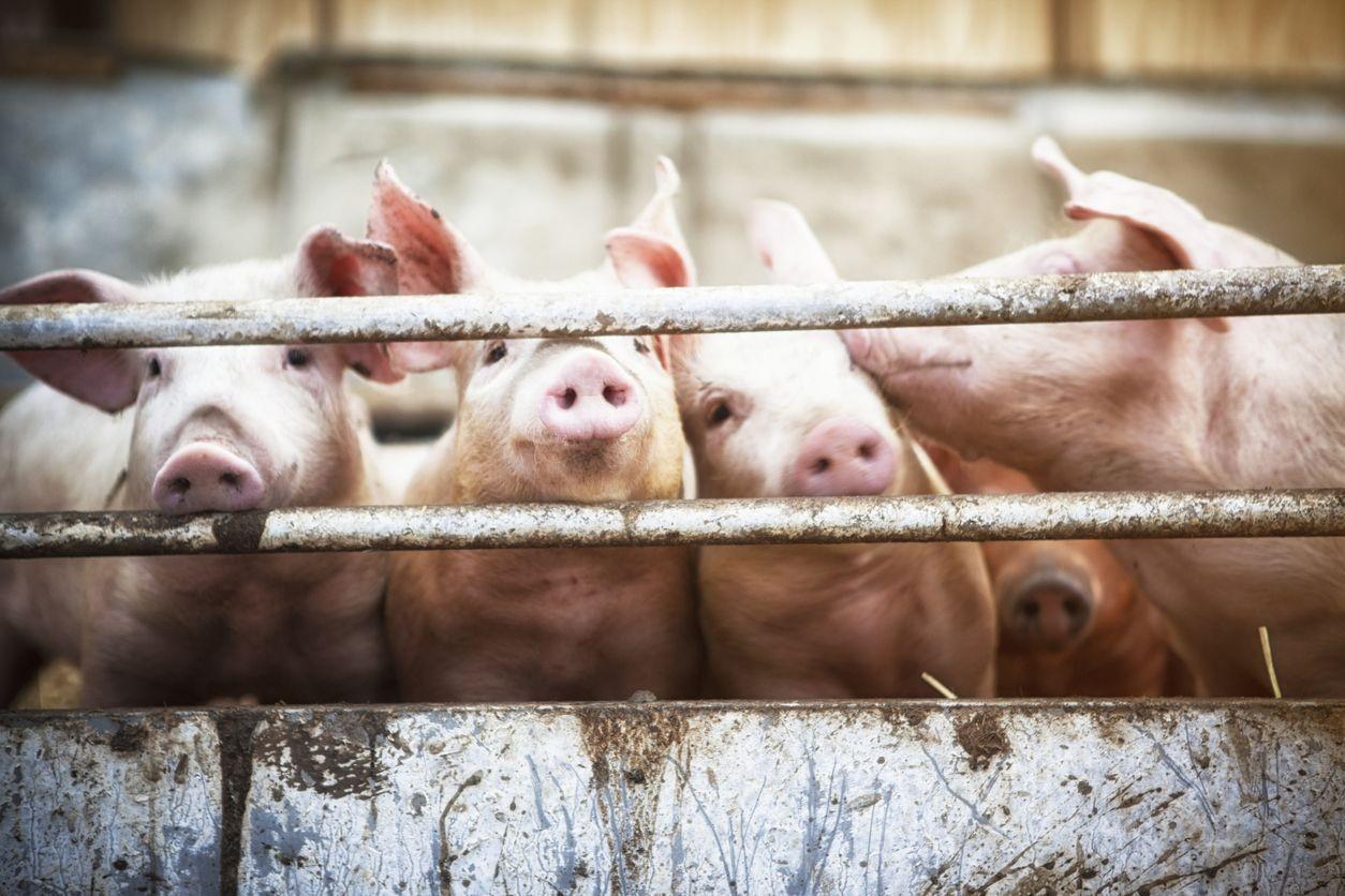Governo conclui processo para venda de carne de porco na China