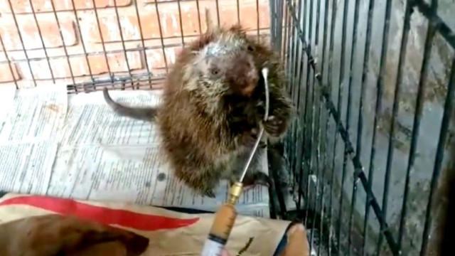 Jardim Zoológico partilha vídeo de ouriço salvo após atropelamento