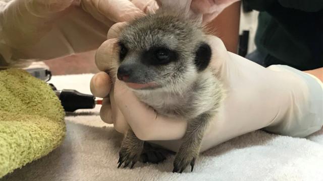Caso de suricata desaparecida de zoo resolvido. E há três detidos