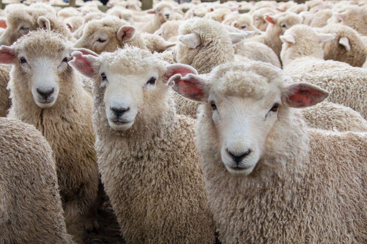 Aldeia de Gouveia quer ter o maior requeijão de leite de ovelha do mundo