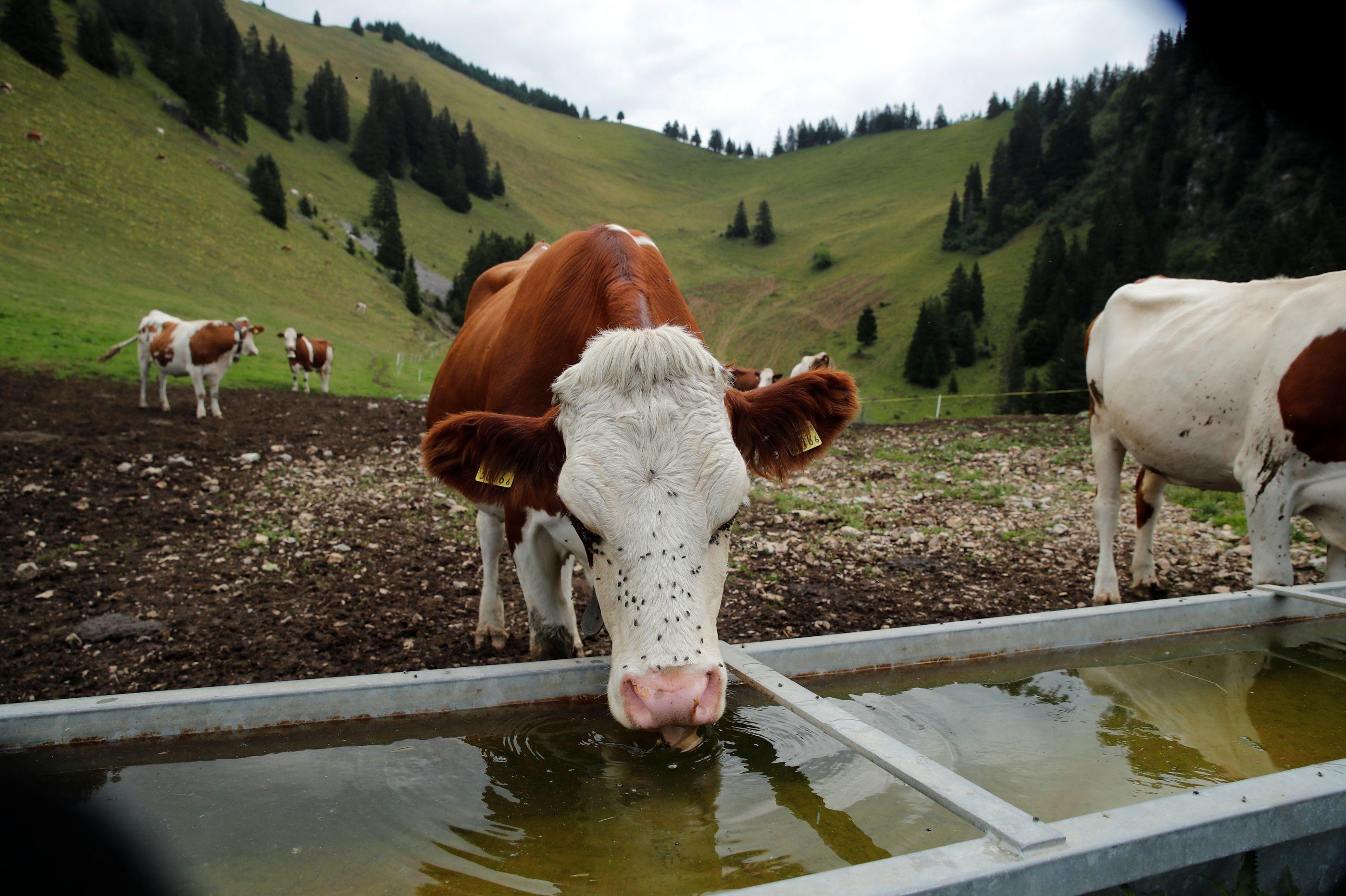 Suíços votam no domingo. Vacas... com ou sem cornos?