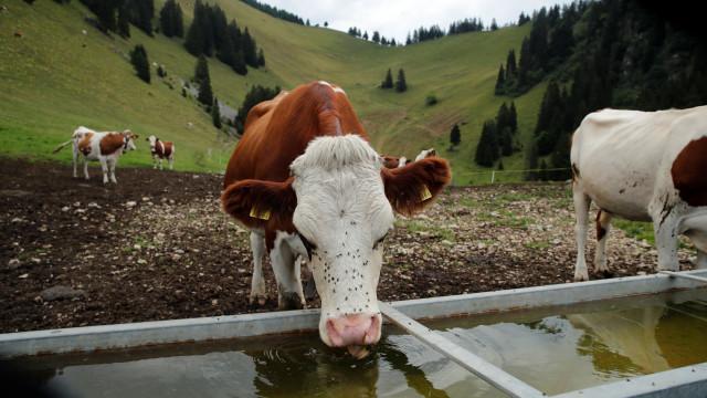 Casal alemão perde batalha legal contra ruído de badalos de vacas