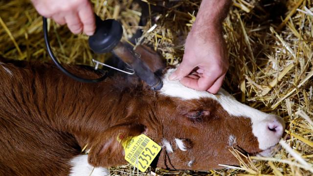 Suíça nega subsídio a produtores que não cortam chifres aos animais