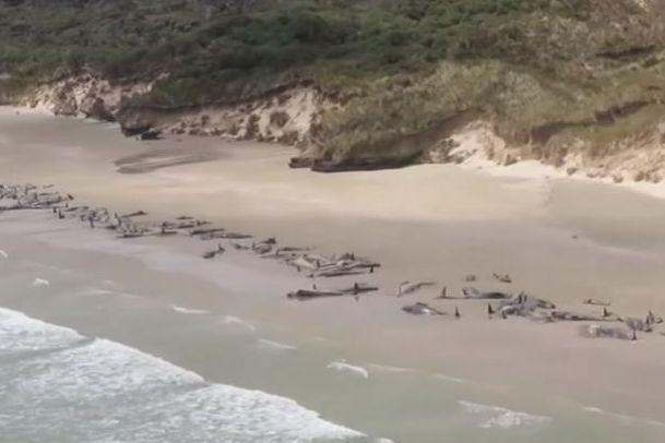 Morreram 145 baleias que 'encalharam' numa praia da Nova Zelândia