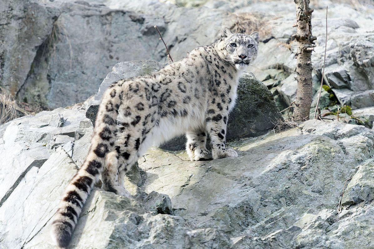 Jardim zoológico britânico defende decisão de matar um leopardo das neves