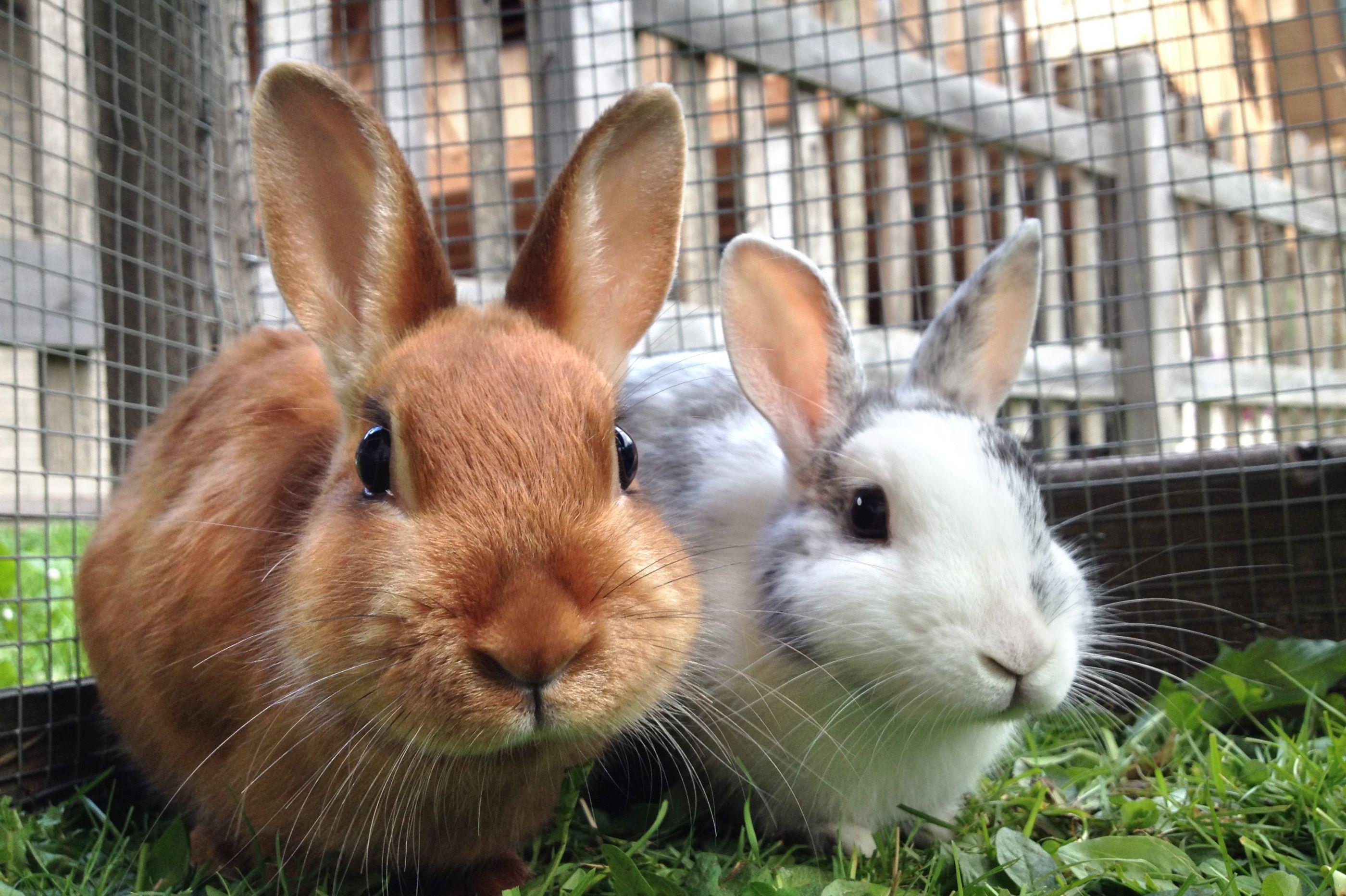 'Serial-killer' de coelhos voltou a atacar em França