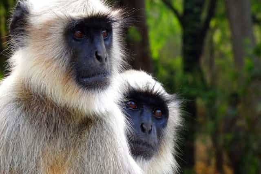 Seis pessoas detidas por matarem e comerem macaco em via de extinção