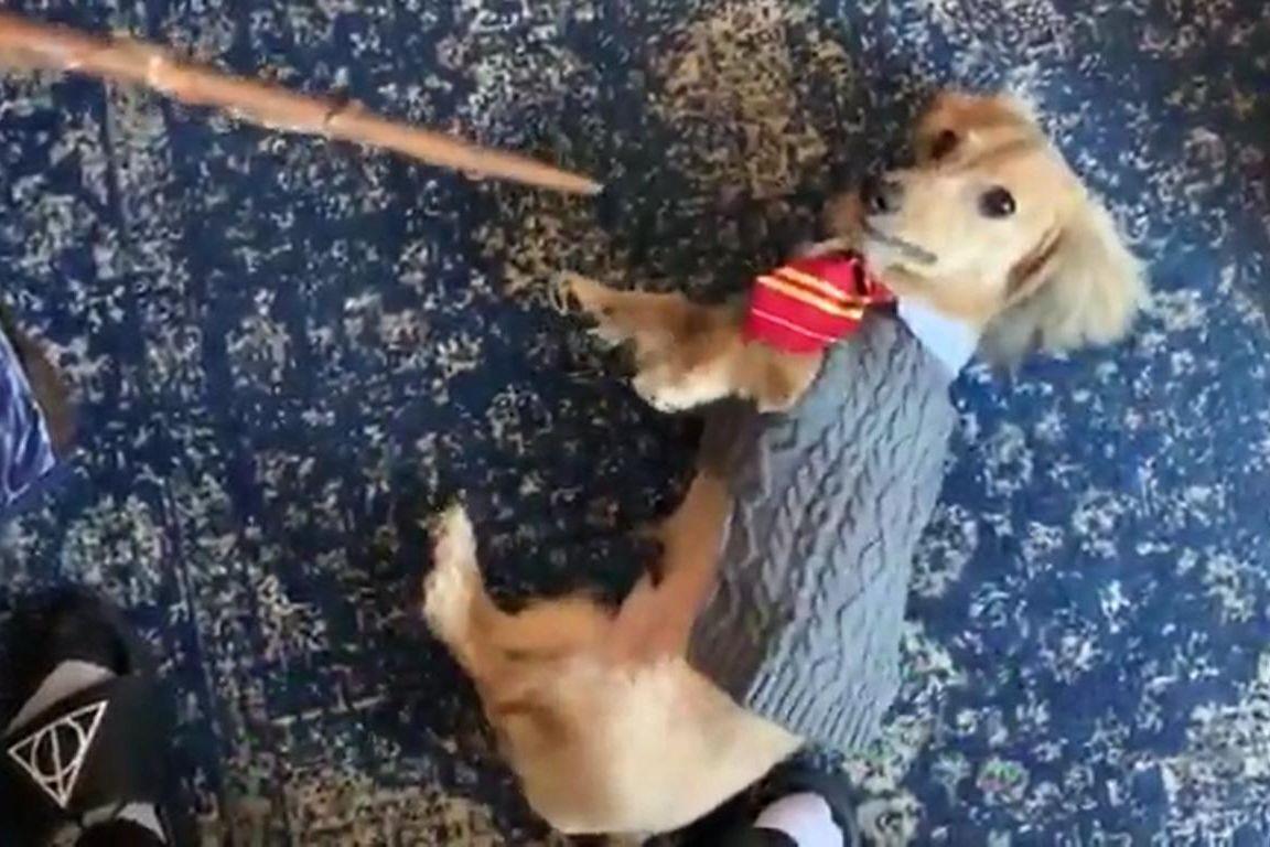 Quer um vídeo cómico? Eis um cão a reagir a feitiços do Harry Potter