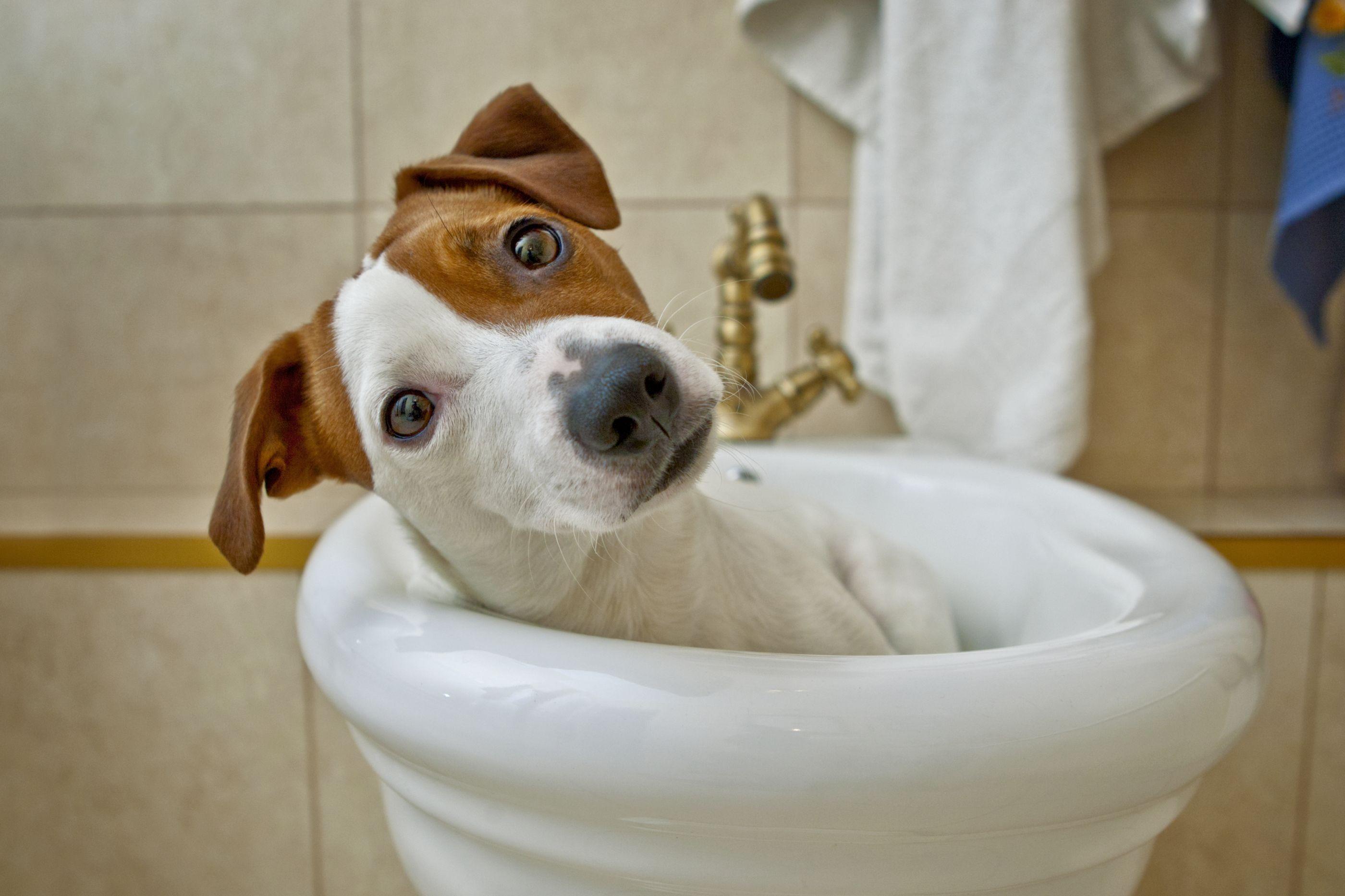 Surpresa. Descubra sete utilidades do vinagre de cidra para o seu cão