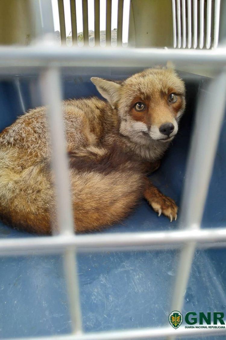 Raposa-vermelha presa em escola foi devolvida ao habitat natural