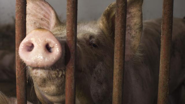 Mulher russa desmaiou na pocilga e foi comida pelos porcos