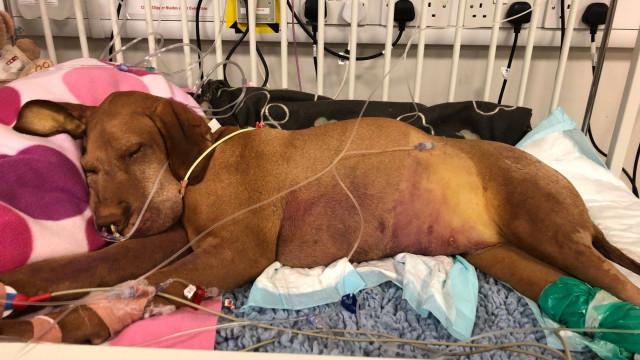 Cão morreu depois de comer bolo com adoçante tóxico. Dona deixa alerta