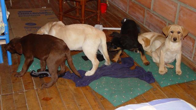Veterinário operava cachorros para traficar heroína da Colômbia para EUA