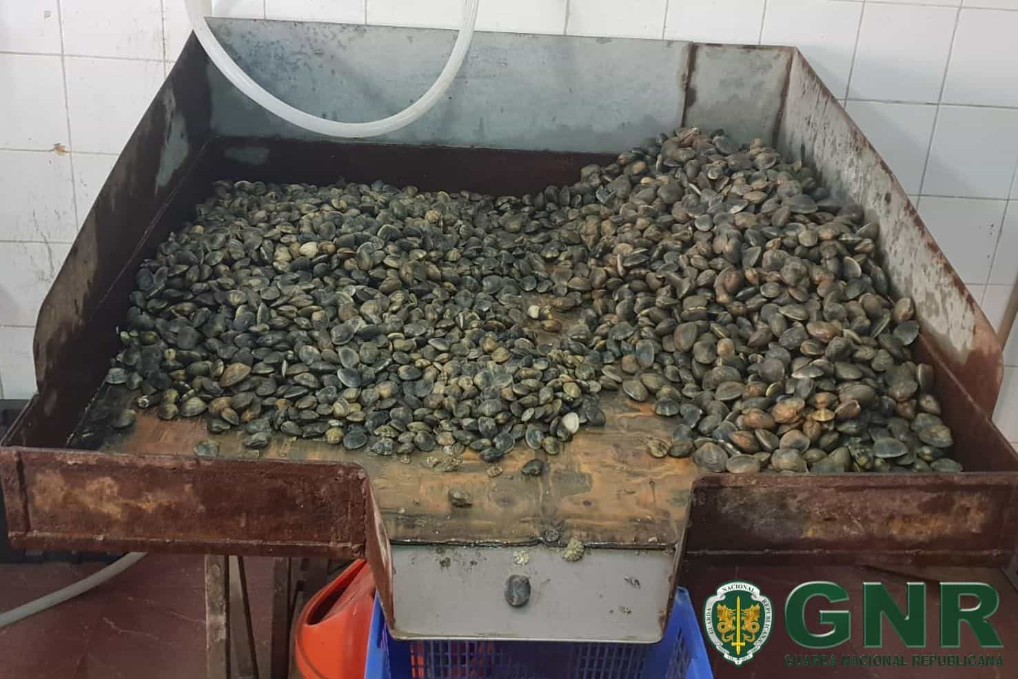 GNR apreende uma tonelada de amêijoa-japonesa e 600 quilos de pé-de-burro