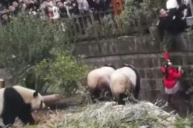 Menina cai dentro de uma jaula de pandas na China e é salva na 'hora H'