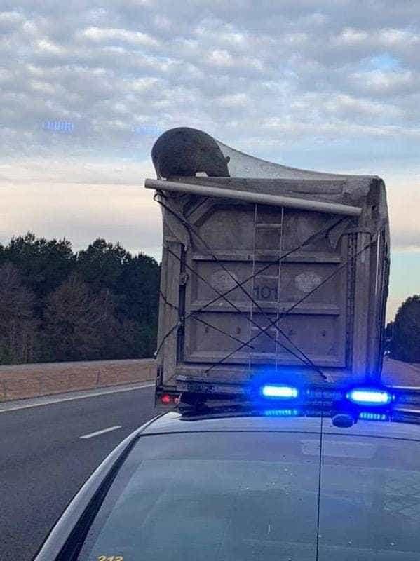 Urso à caça de alimento apanhou boleia sem querer de camião do lixo