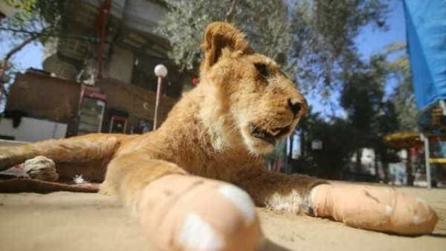 """Zoo em Gaza retira garras a leoa para que seja """"amigável"""" com as crianças"""