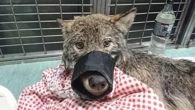 Pensaram estar a resgatar cão e afinal era um lobo