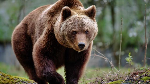Afinal, há ou não ursos pardo em Portugal? 'Nim'